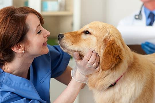 Online Veterinary Technician Degree Penn Foster College
